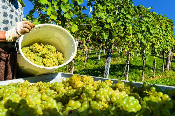 Live in it - Ideas in Corfu wine making